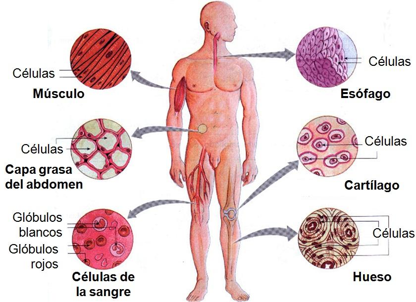 Resultado de imagen de Infinidad de células en el cuerpo humano